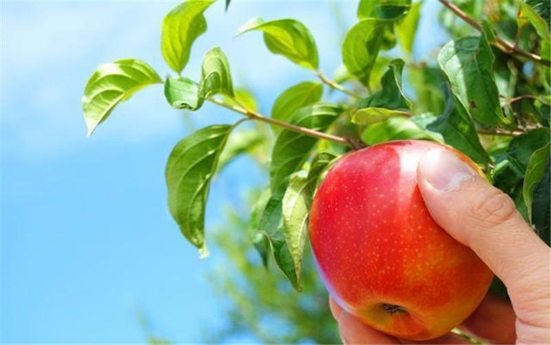 苹果疏花疏果的方法与技术