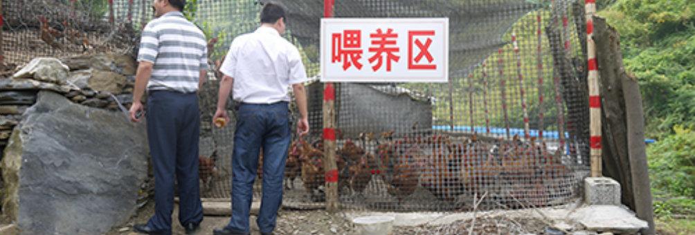 土鸡林地放养技术培训项目