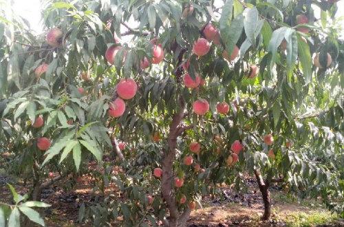 桃树栽培技术