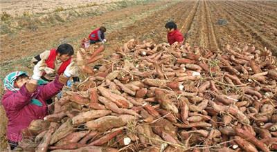 新池镇南沟村继续扩大红薯生产 加快产业结构调整