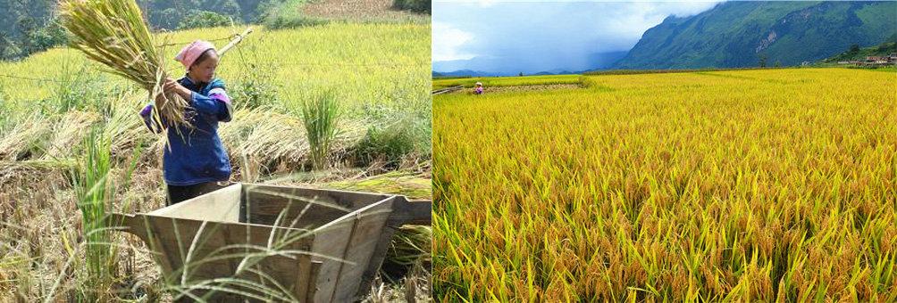 师宗的高良、五龙、龙庆适宜双季稻种植
