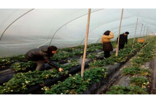 眉县:设施草莓棚内春来早,技术人员指导忙