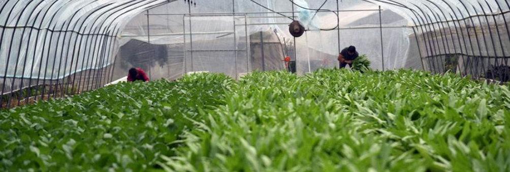 大棚精细蔬菜栽培