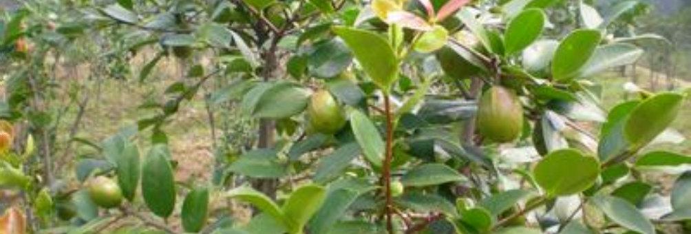 油茶树的种植技术