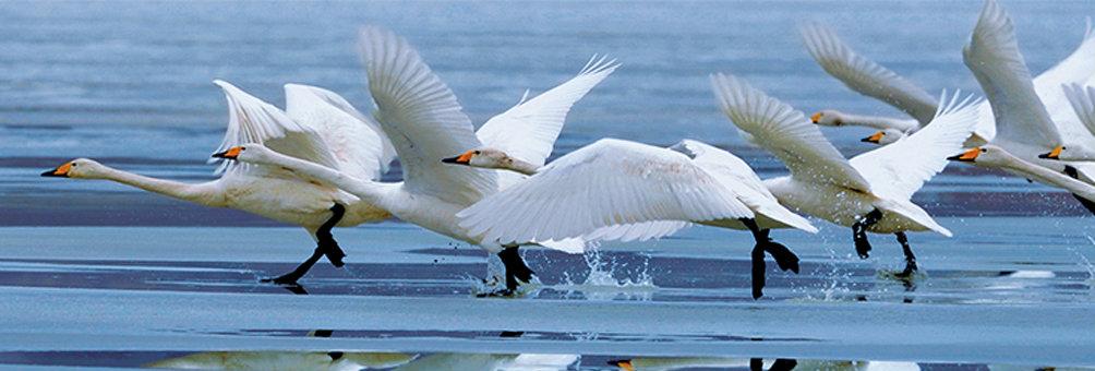 湿地---天鹅