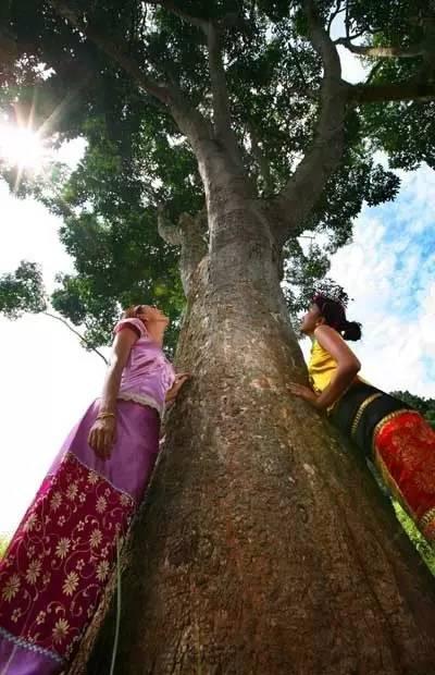 中国橡胶母树