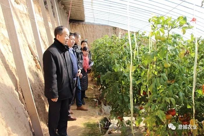市农技中心研究员杨兆森来我县检验冬春茬西红柿垄肩栽培试验成果