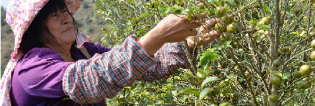 龙川油茶种植基地