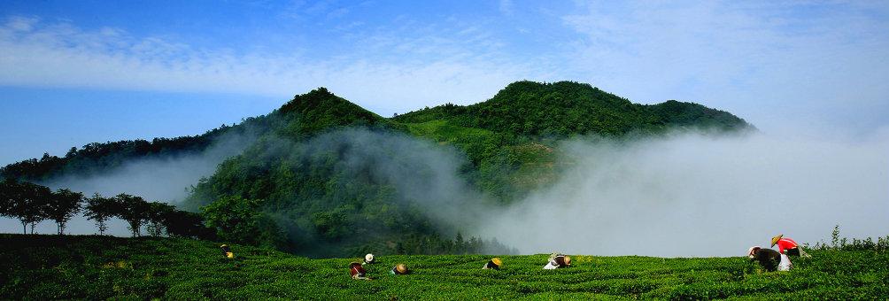 中国富锌富硒有机茶之乡——凤冈