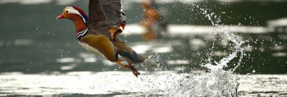 鸳鸯戏水------黄泥塘