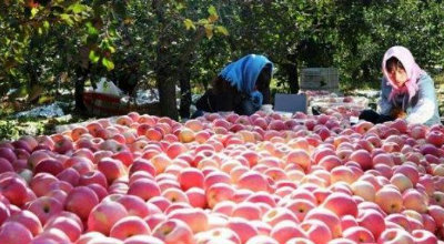 平度旧店镇7万多亩苹果开始收获