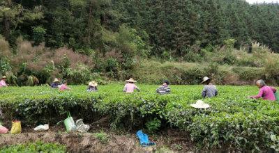 """里洞镇鹅石村:一片茶叶让""""头雁""""托起群众致富梦"""