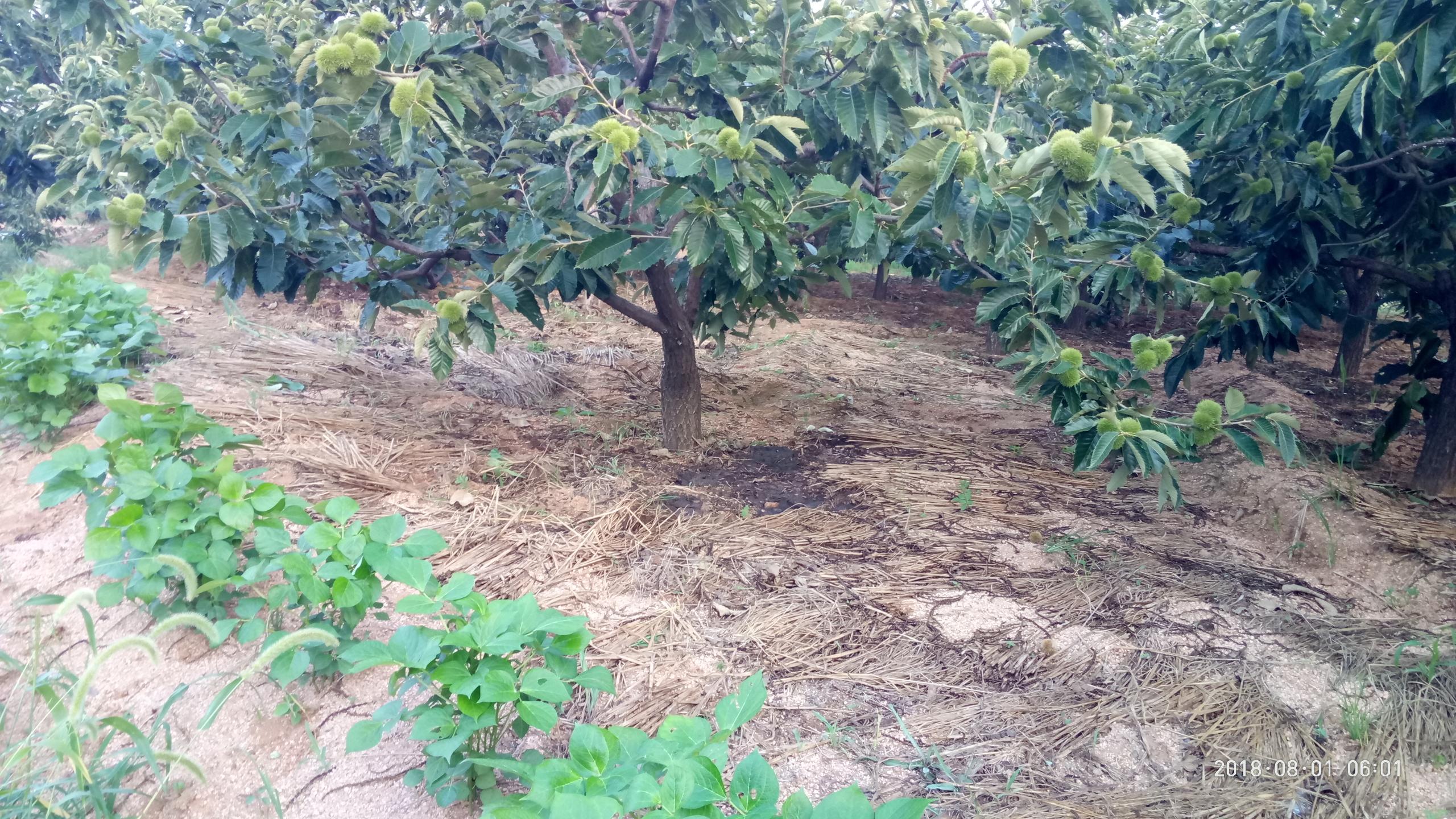 板栗树下盖草,一举多得!