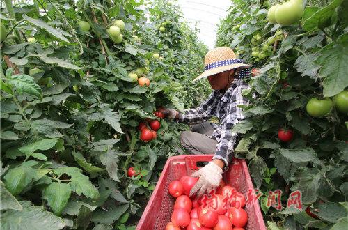 优质番茄助脱贫